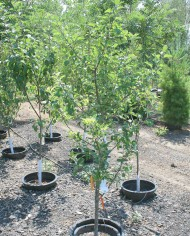 APPLE 4-IN-1 COMBO – Trees for Sale in Colorado. Buy the best plants for your landscape.