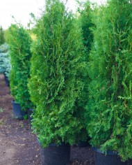 ARBORVITAE BRANDON – Trees for Sale in Colorado. Buy the best plants for your landscape.
