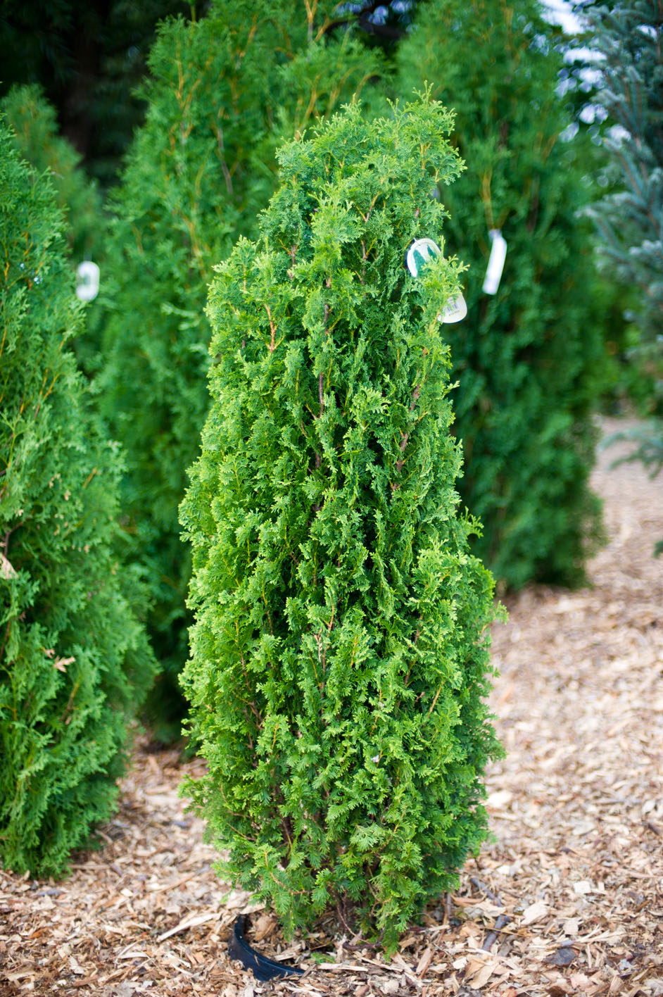Best Christmas Trees To Buy