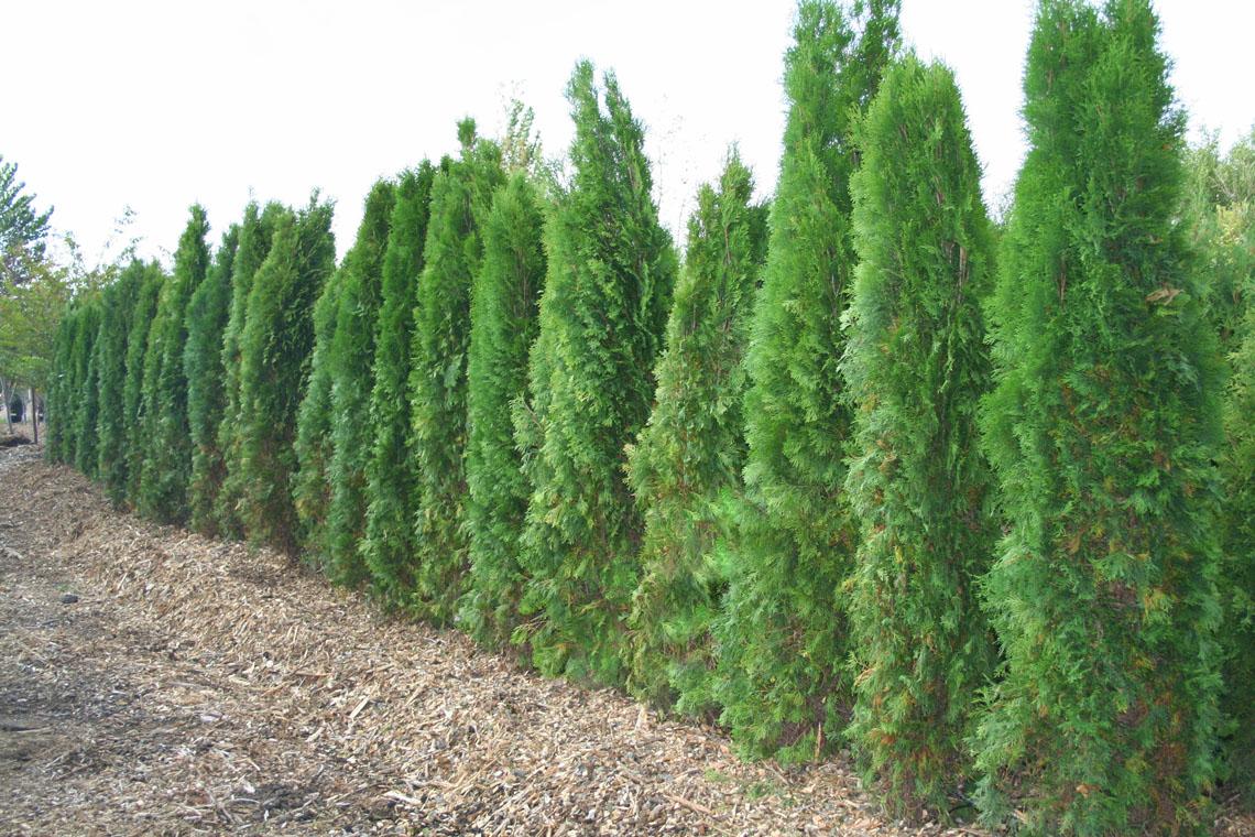 Arborvitae emerald green creekside tree nursery - Thuja smaragd growth rate ...