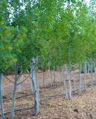 ASPEN HARVESTED QUAKING – Trees for Sale in Colorado. Buy the best plants for your landscape.