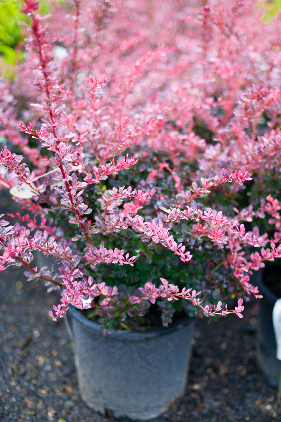 Barberry Rosy Rose Glow For Sale In Boulder Colorado