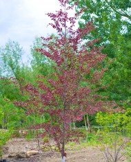 BEECH TRICOLOR – Trees for Sale in Colorado. Buy the best plants for your landscape.