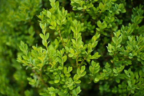 BOXWOOD GREEN MOUNTAIN