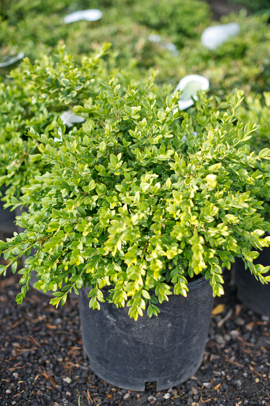 Boxwood Green Velvet For Sale In Boulder Colorado