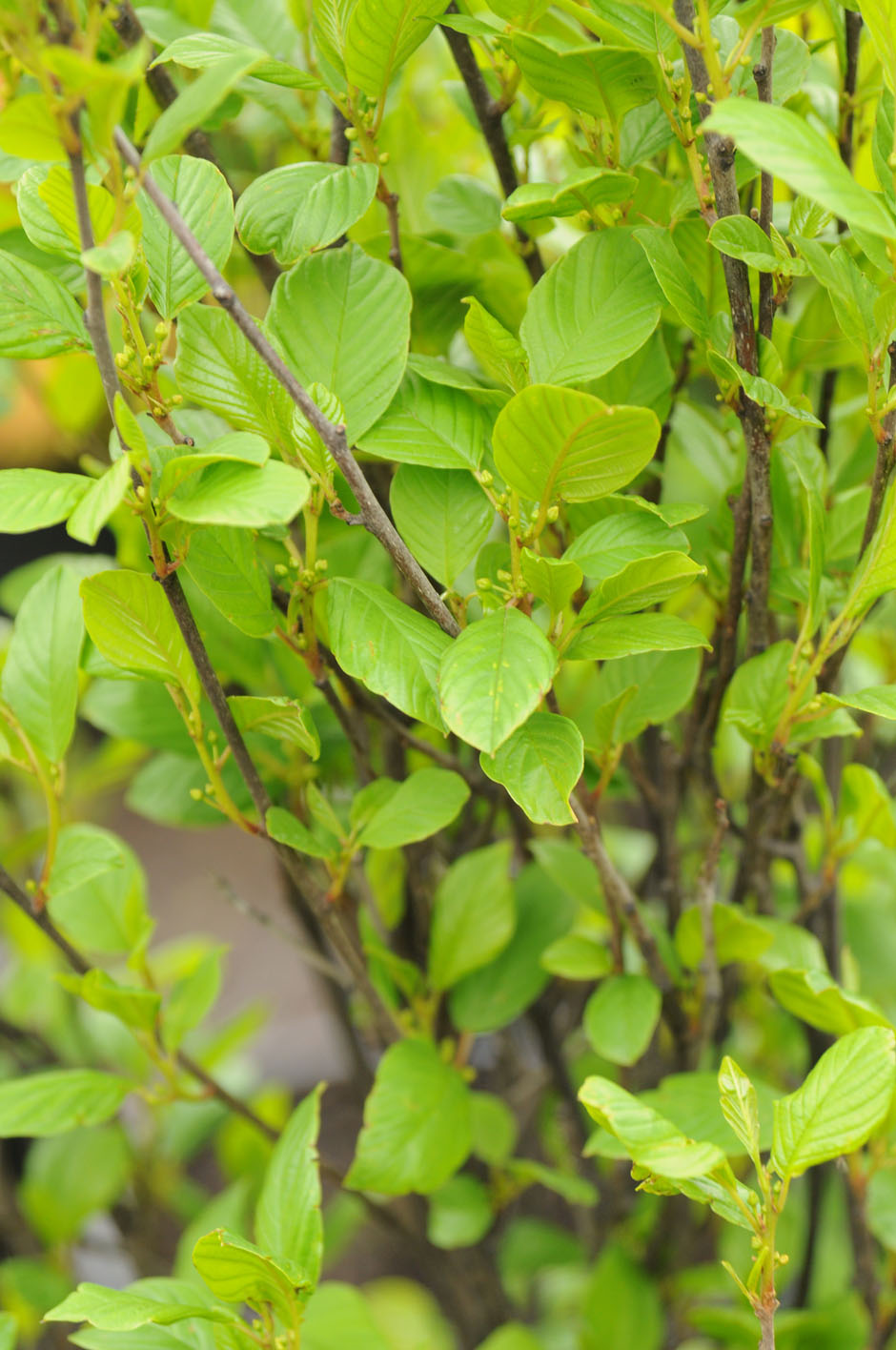 Buckthorn Columnar For Sale In Boulder Colorado