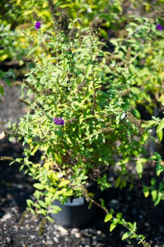 BUTTERFLY BUSH ATTRACTION