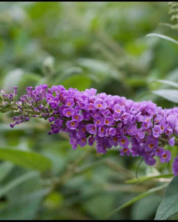BUTTERFLY BUSH BLUE CHIP