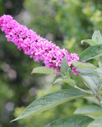 BUTTERFLY BUSH PINK MICRO CHIP
