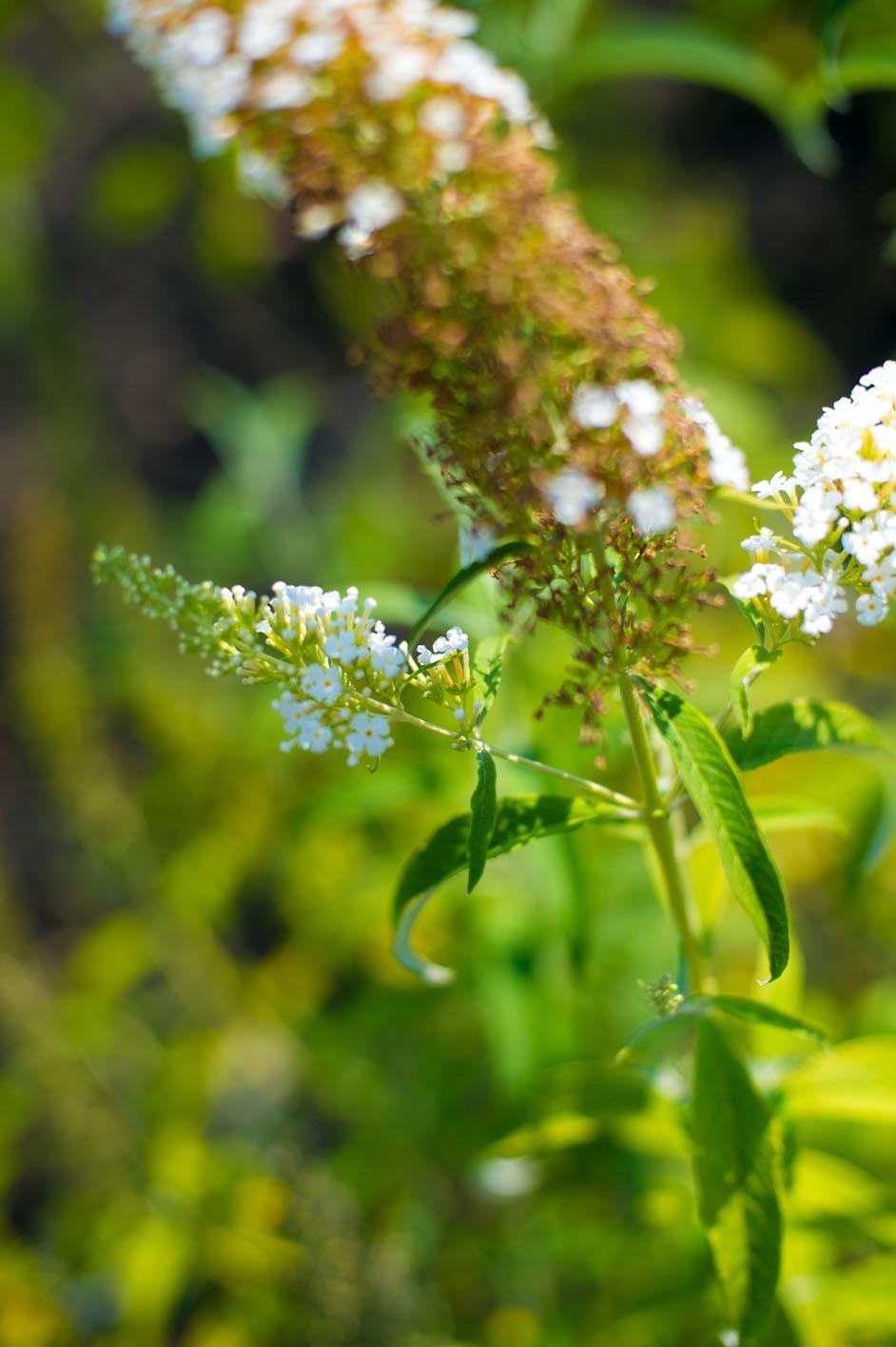 Butterfly Bush Buddleia Davidii
