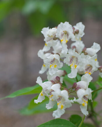 CATALPA GOLDEN AUREA