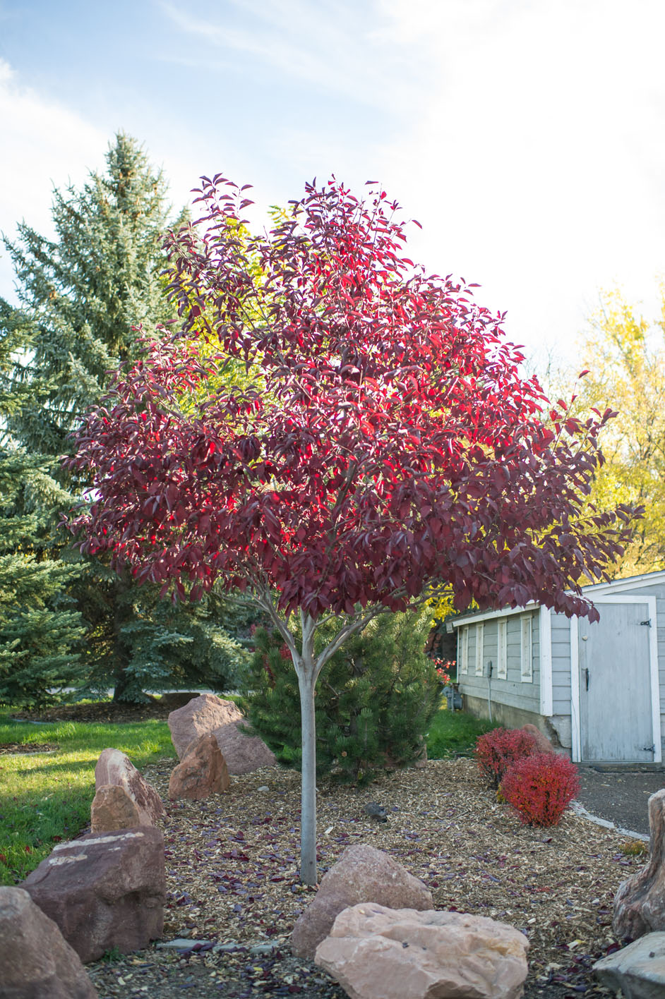Cherry canada red creekside tree nursery for Cherry trees for sale