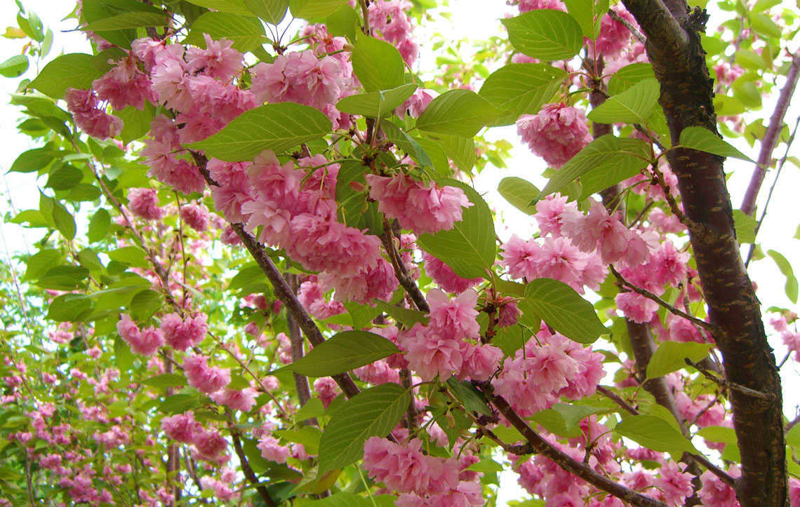 cherry kwanzan flowering creekside tree nursery. Black Bedroom Furniture Sets. Home Design Ideas