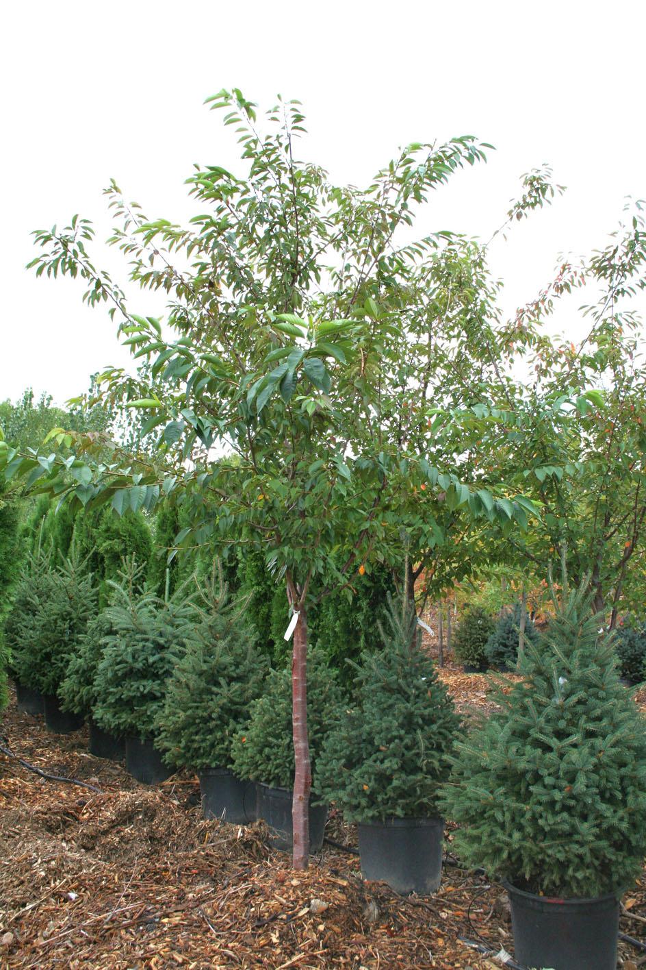Cherry yoshino flowering creekside tree nursery for Garden deciduous trees