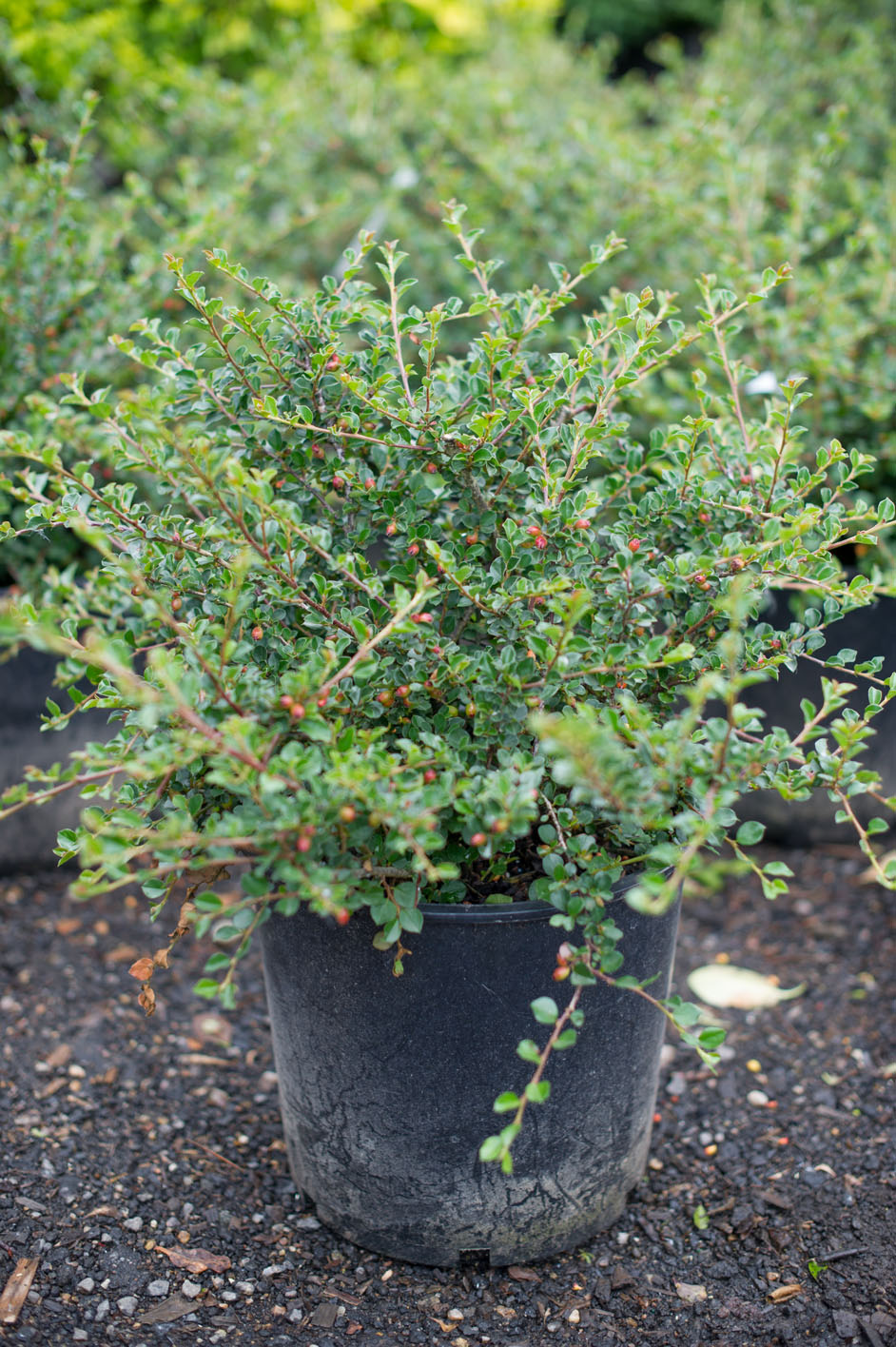Cotoneaster Cranberry For Sale In Boulder Colorado