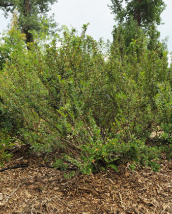 COTONEASTER SPREADING