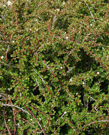 COTONEASTER TOM THUMB