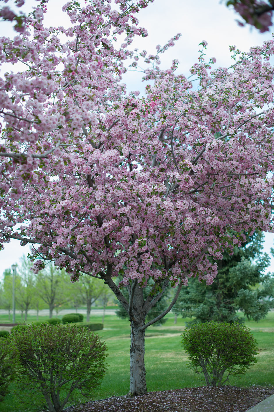 Crabapple brandywine creekside tree nursery for Crabapple tree
