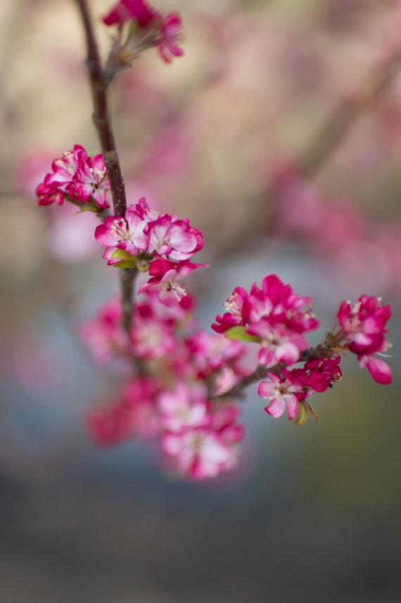 CRABAPPLE CORALBURST DWARF FLOWERIN