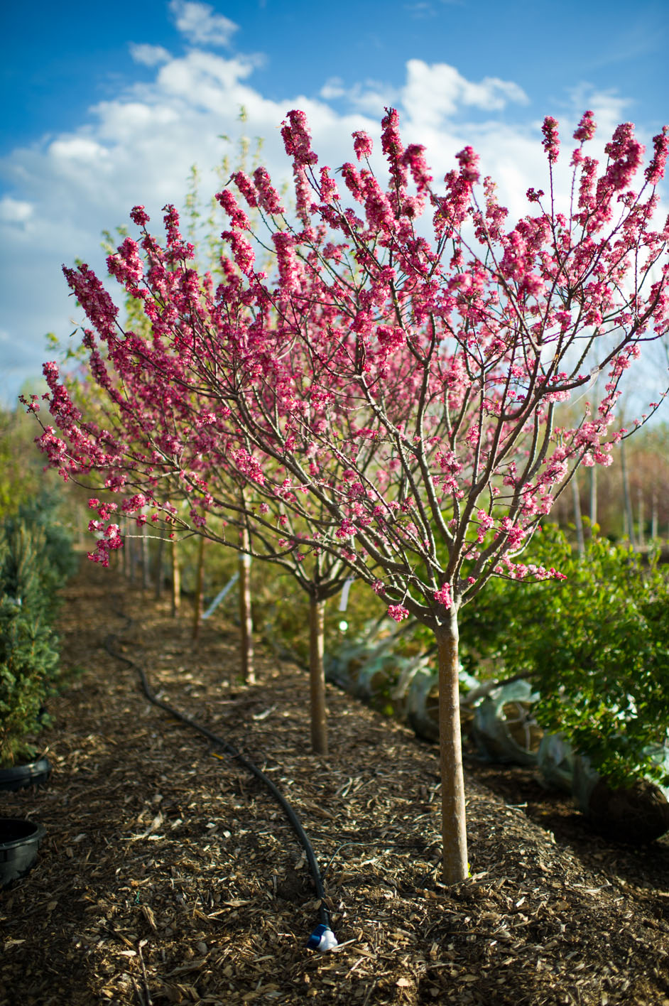 Crabapple coralburst dwarf flowerin creekside tree nursery for Crabapple tree