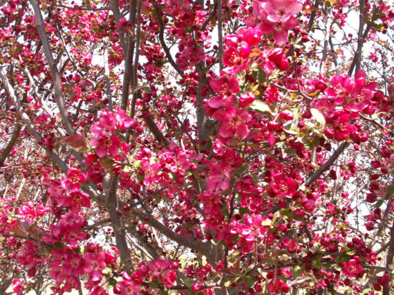 CRABAPPLE INDIAN MAGIC