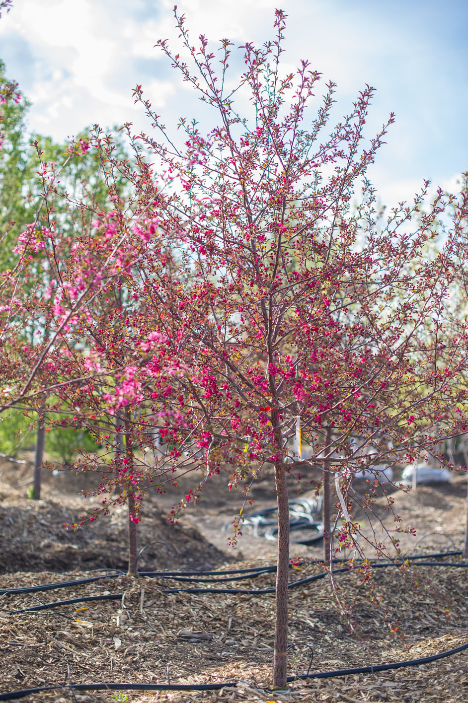 Crabapple Prairiefire For Sale In Boulder Colorado