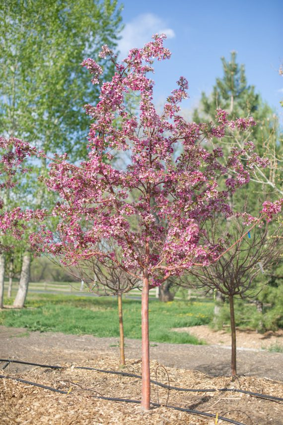 CRABAPPLE PROFUSION