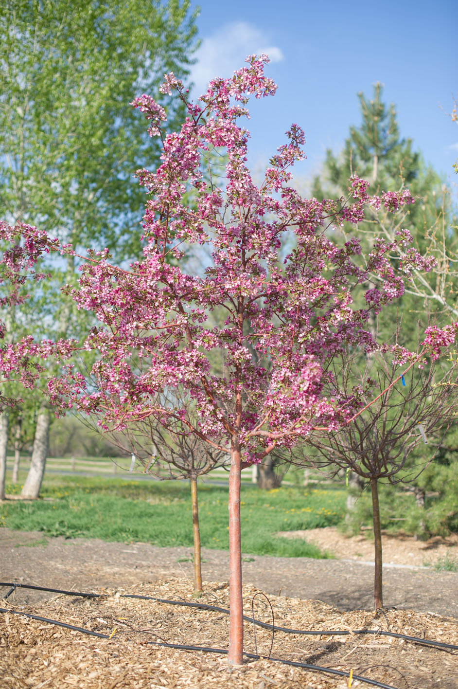 Crabapple profusion creekside tree nursery for Crabapple tree