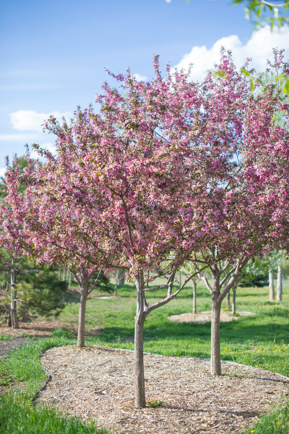 Crabapple robinson creekside tree nursery for Crabapple tree