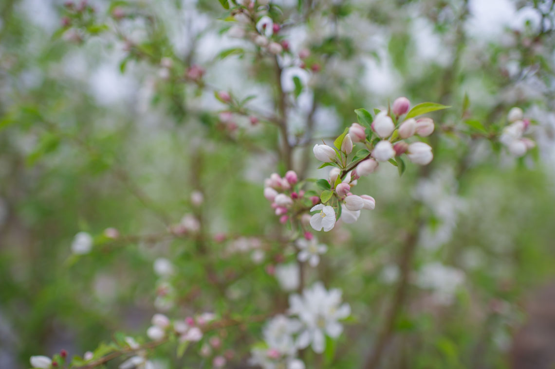 Crabapple Spring Snow Flowering For Sale In Boulder Colorado