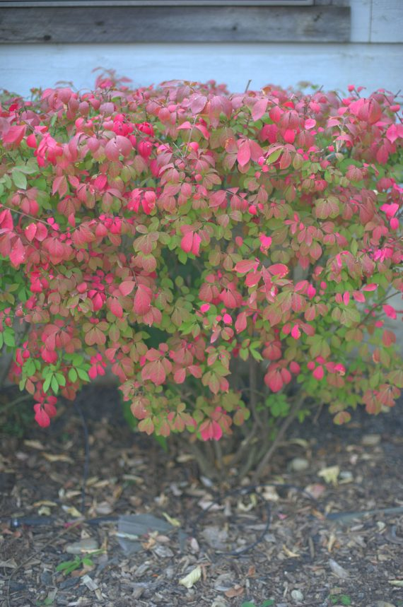 Where To Plant Burning Bush