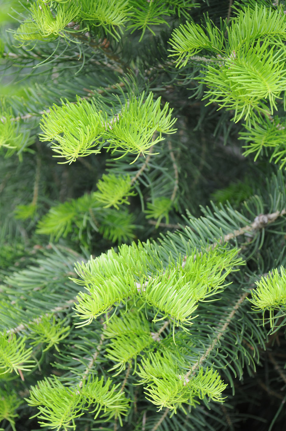 Fir concolor white creekside tree nursery for Evergreen shop