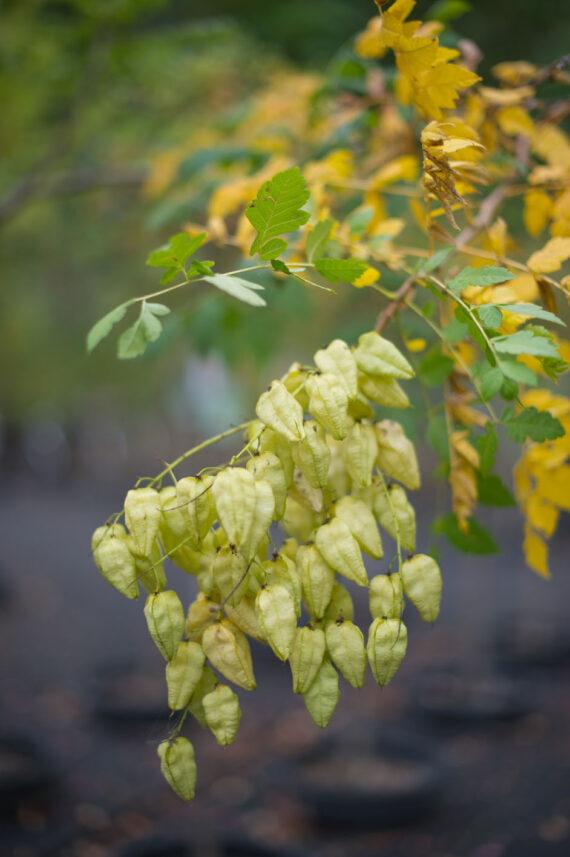 GOLDEN RAIN TREE COLUMNAR