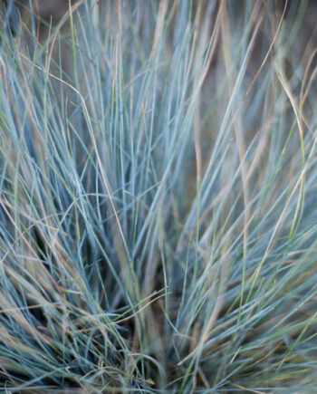 GRASS ELIJAH BLUE FESCUE