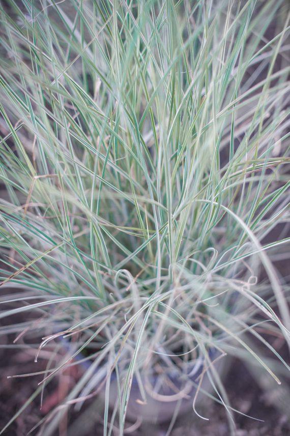 GRASS HEAVY METAL BLUE SWITCH