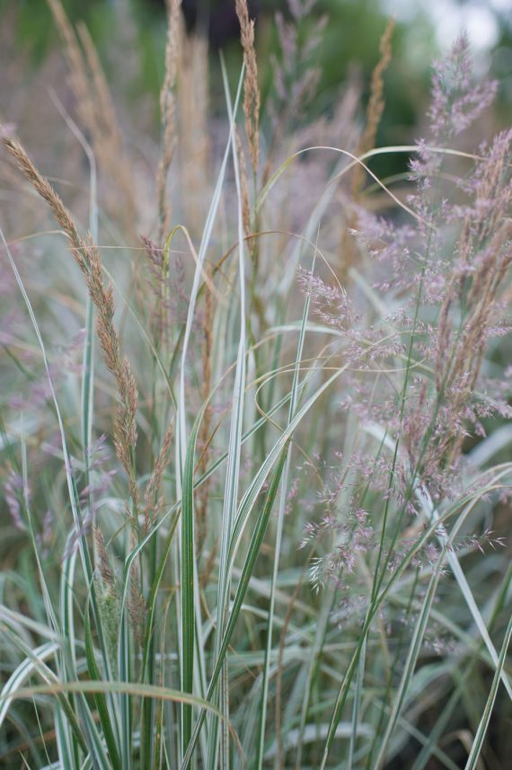 GRASS OVERDAM VARIEGATED FEATHER RE