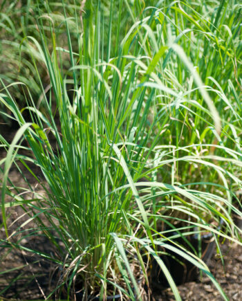 GRASS HARDY PAMPAS