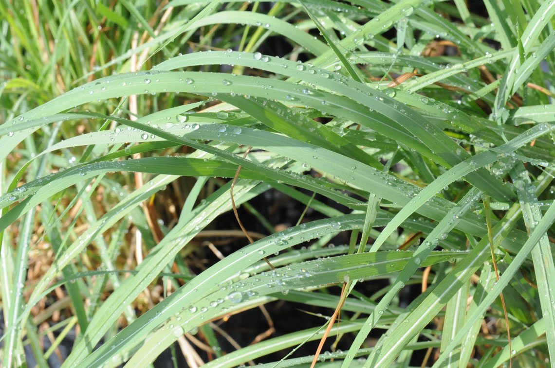 Grass Hardy Pampas For Sale In Boulder Colorado