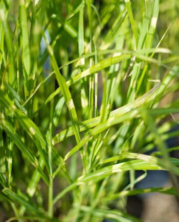 GRASS ZEBRA JAP SILVER