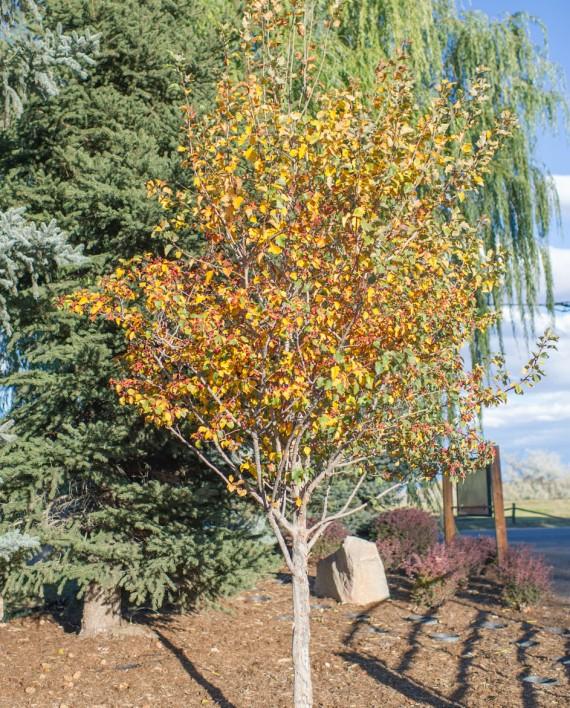 Small Ornamental Trees Oregon: CreekSide Tree Nursery
