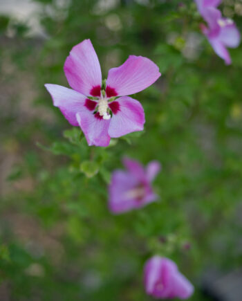 HIBISCUS APHRODITE - ROSE OF SHARON