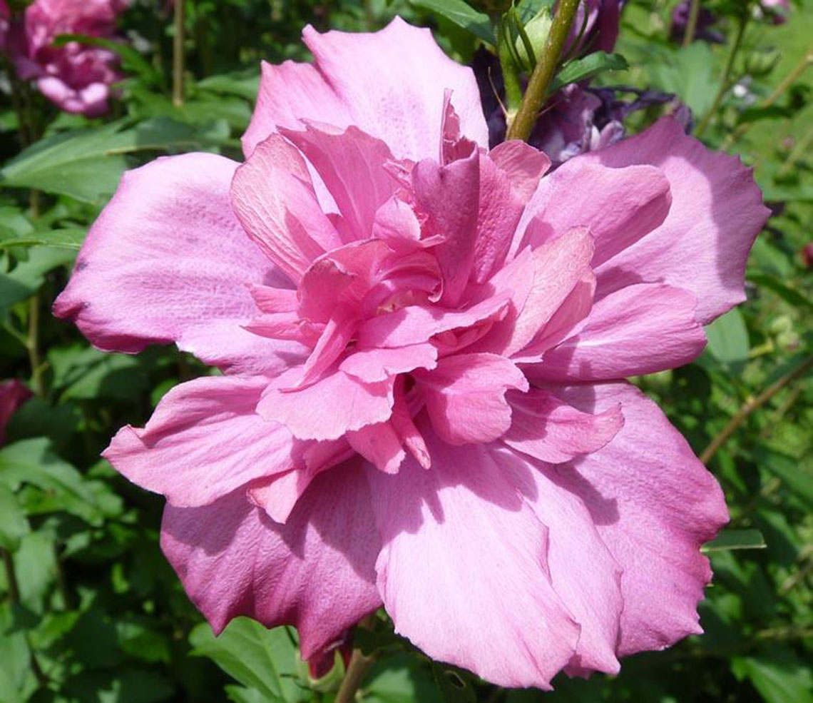 Hibiscus Arden Blue Rose Of Sharo For Sale In Boulder Colorado