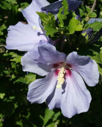 HIBISCUS BLUE SATIN - ROSE OF SHARO