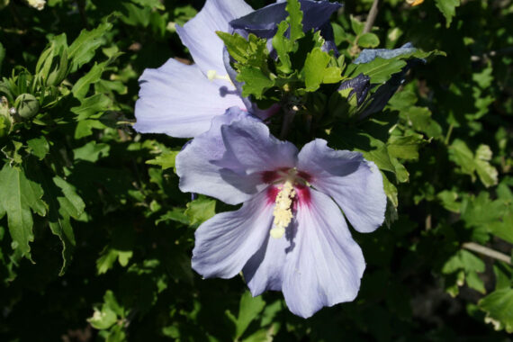 HIBISCUS BLUE SATIN - ROSE OF SHARO