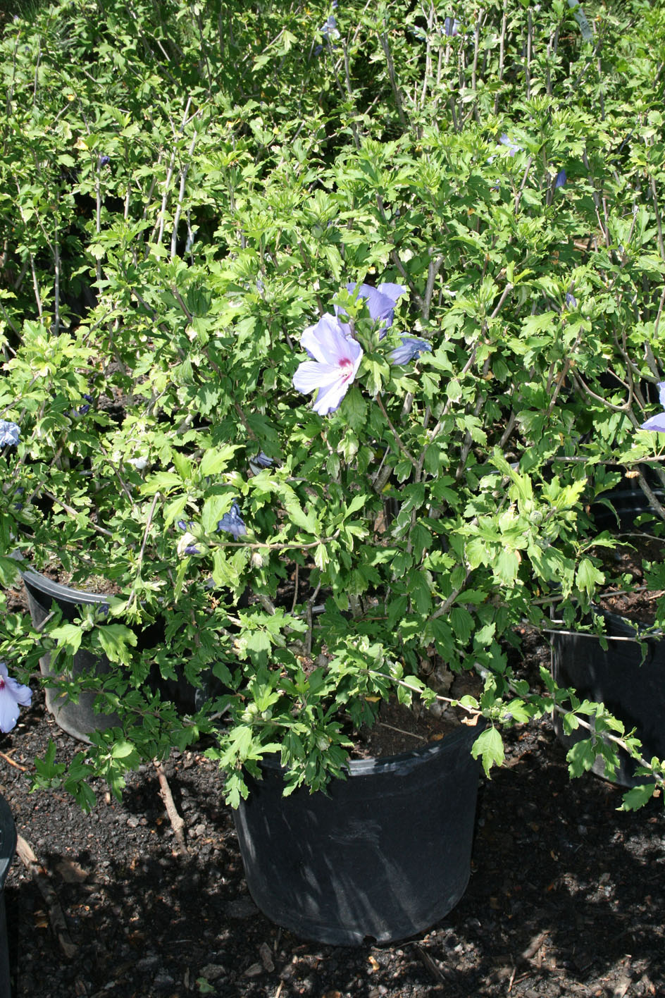 Hibiscus Blue Satin Rose Of Sharo For Sale In Boulder Colorado