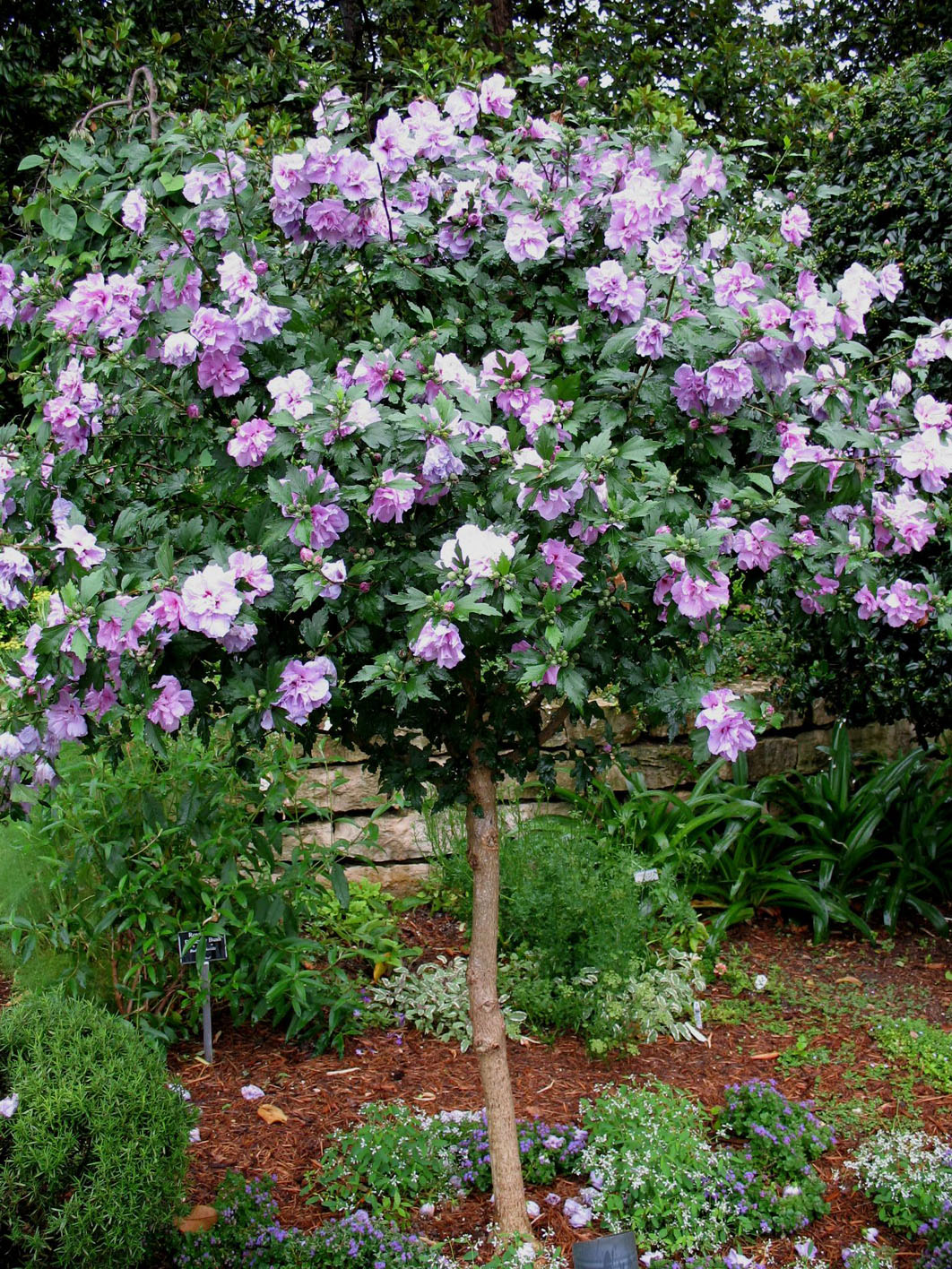 Hibiscus Tree Ardens For Sale In Boulder Colorado