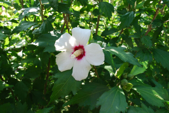 HIBISCUS TREE RED HEART