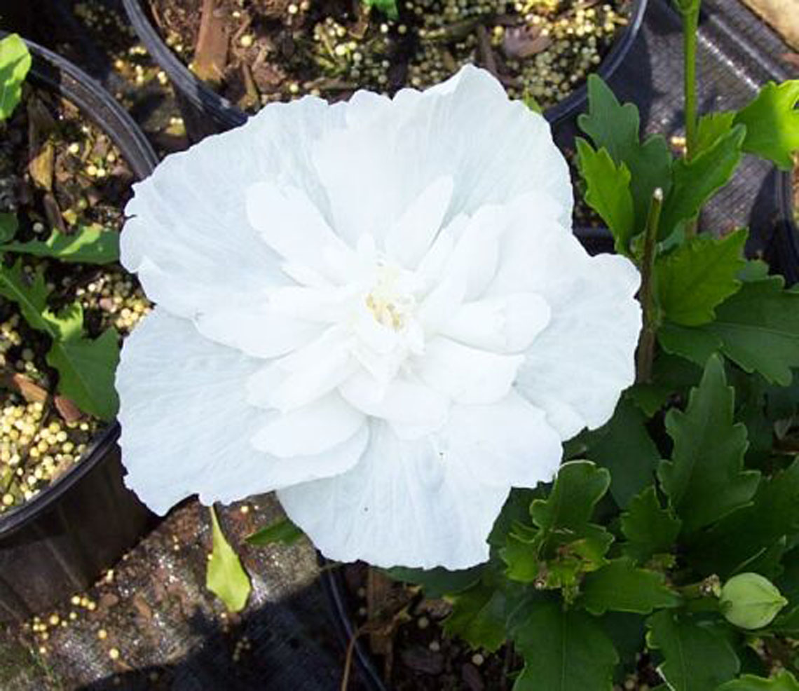 Hibiscus Tree White Chiffon For Sale In Boulder Colorado