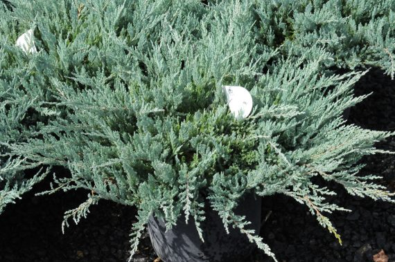 JUNIPER BLUE CHIP