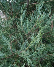 JUNIPER ROCKY MOUNTAIN – Trees for Sale in Colorado. Buy the best plants for your landscape.